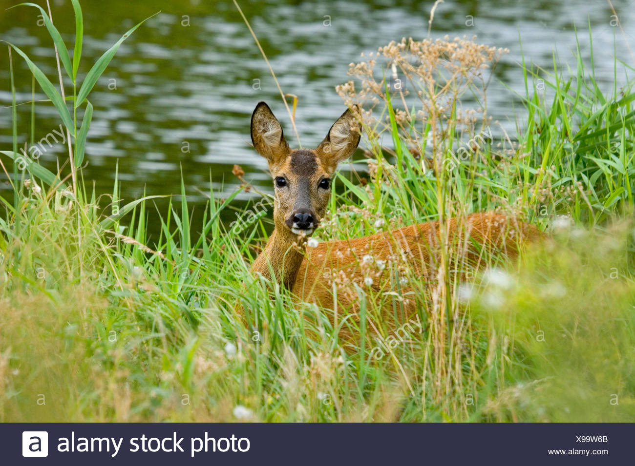roe deer (Capreolus capreolus), doe on high grass on the waterfront, Germany - Stock Image