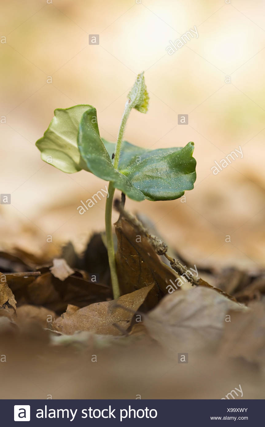 Germ Bud of the Beech (Fagus sylvatica) in the Bavarian Forest, Germany Stock Photo