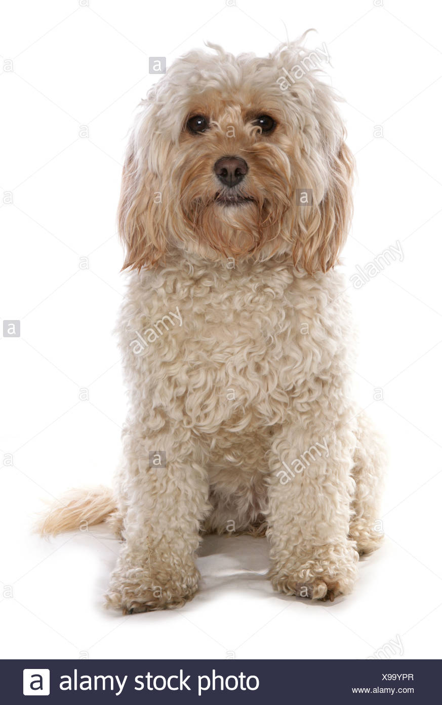 Domestic Dog, Cockerpoo (Cocker Spaniel x Poodle), adult female, sitting - Stock Image