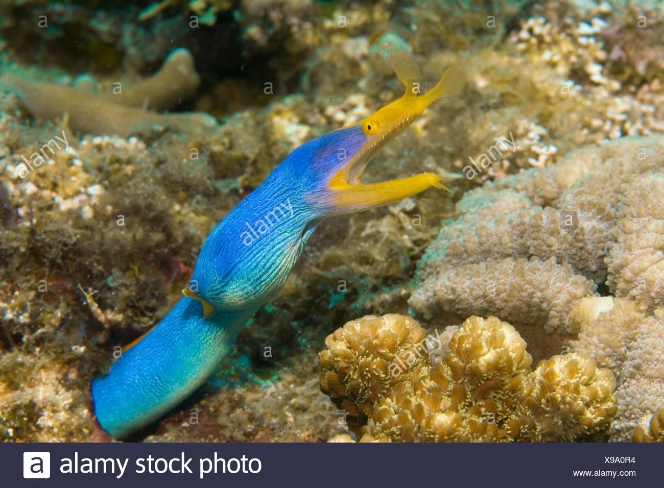 Ribbon eel (Rhinomuraena quaesita) Stock Photo