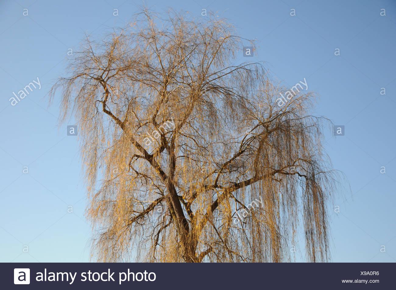 Salix alba Tristis, Weeping willow - Stock Image