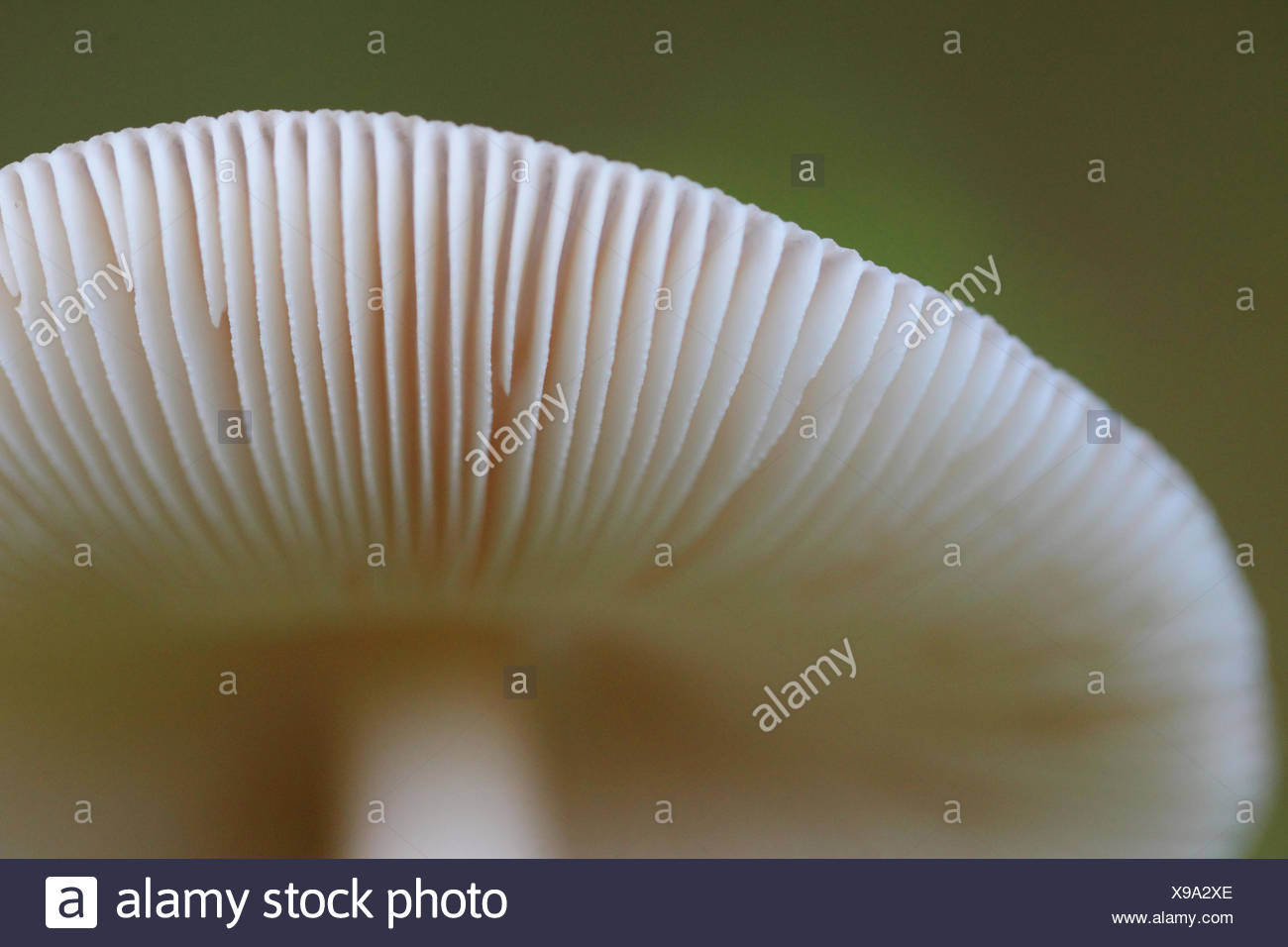 Close up of a panther cap or false blusher mushroom, Amanita pantherina var. pantherina. It contains the psychoactive compound muscimol, but is used as an entheogen much less often than the related Amanita muscaria. - Stock Image