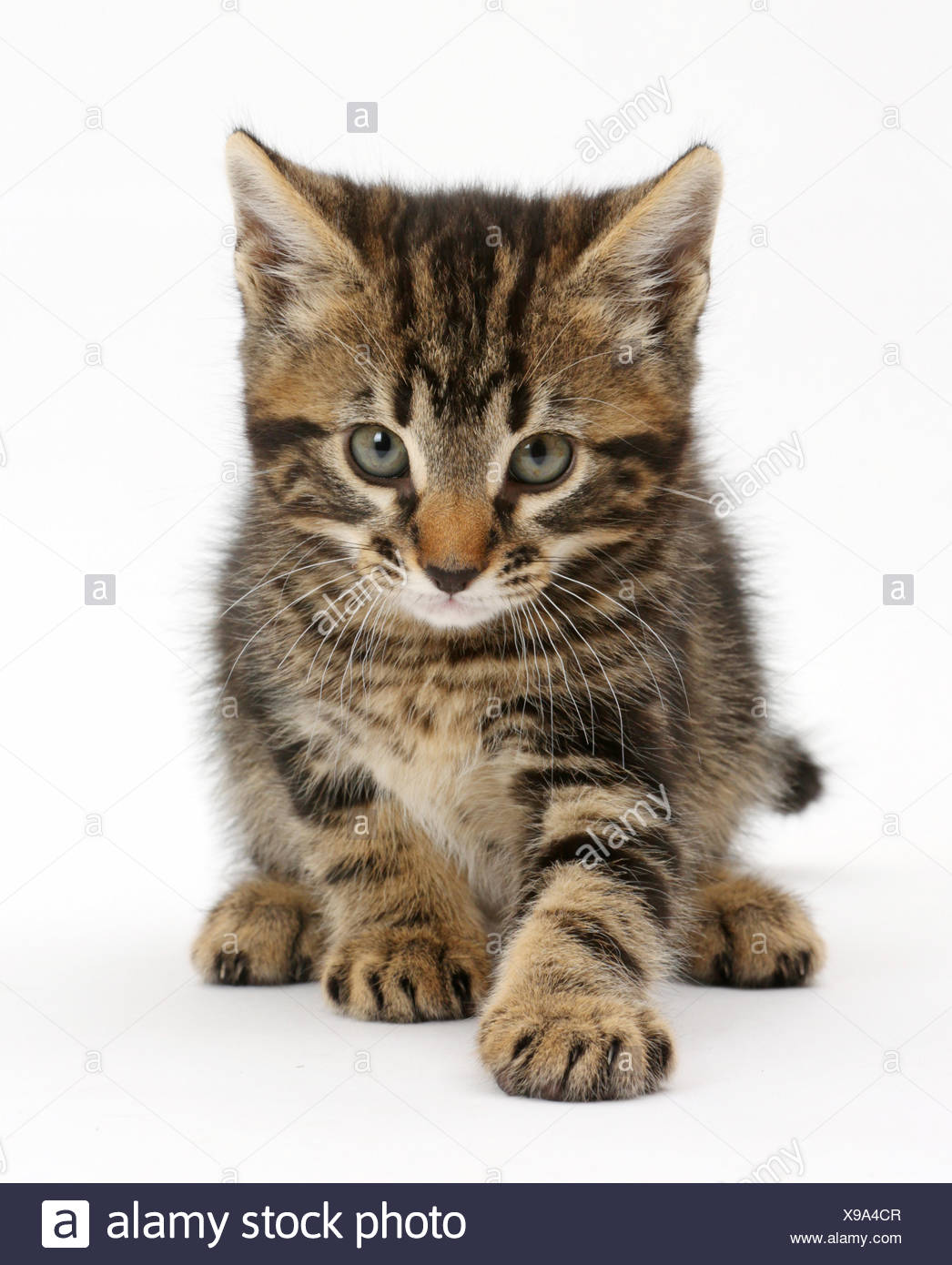 Tabby kitten, Smudge, age 7 weeks. - Stock Image