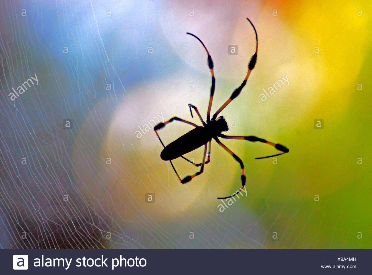 USA, Florida, Orange County, Orlando, Golden Orb Spider - Stock Image