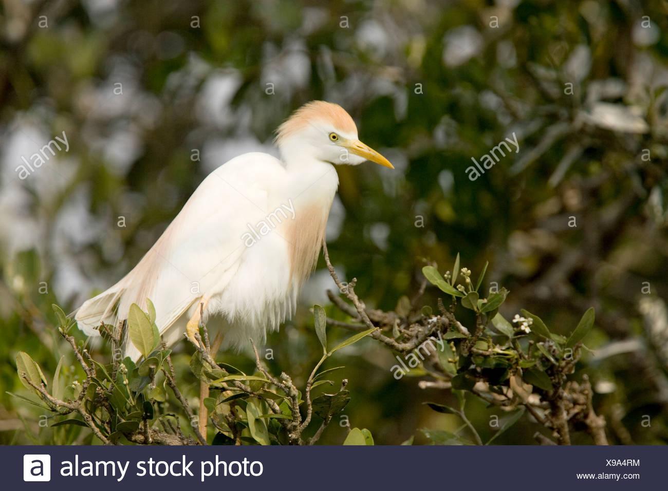A Cattle Egret (Bubulcus ibis) in breeding plumage. Stock Photo