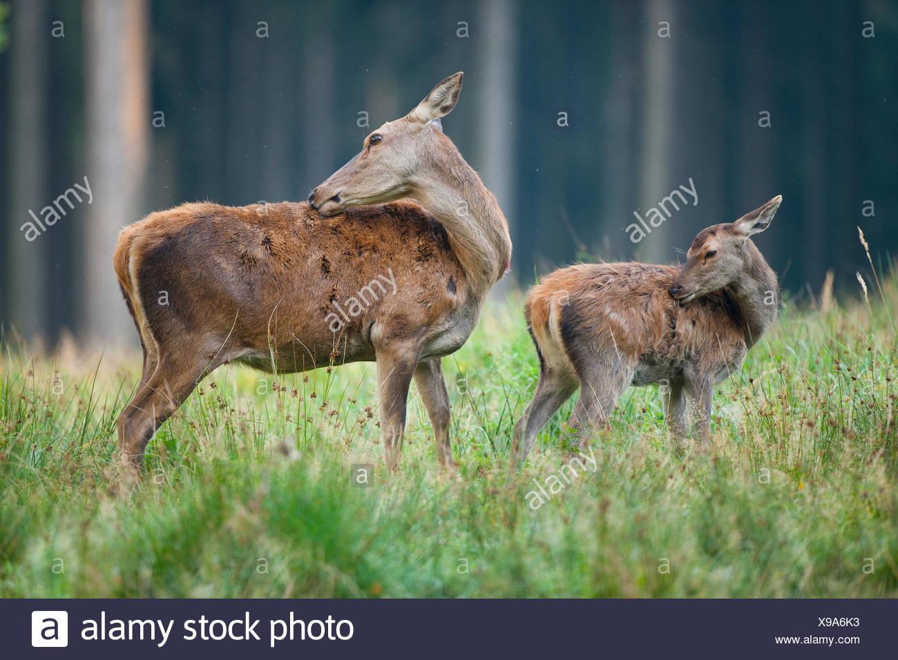 Red deer (Cervus elaphus), fawn and doe, captive, Saxony, Germany - Stock Image
