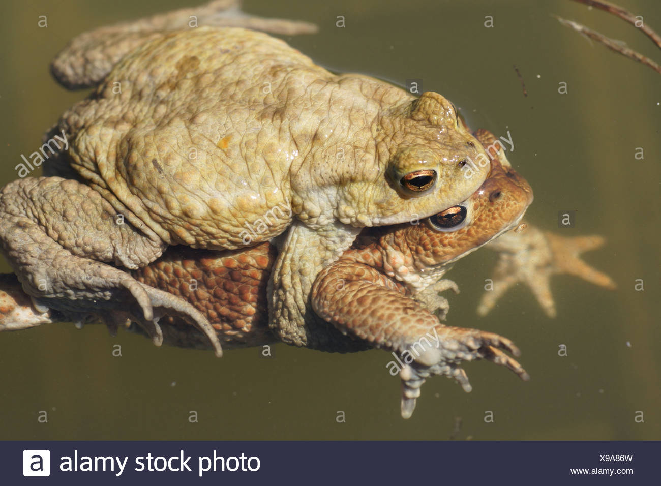 Toads - Stock Image