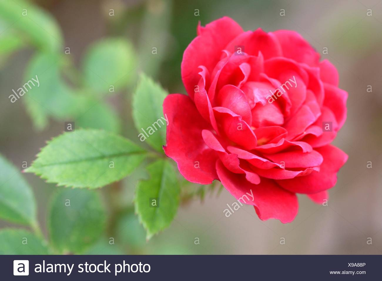 Ruby Rose Stock Photos Amp Ruby Rose Stock Images Alamy