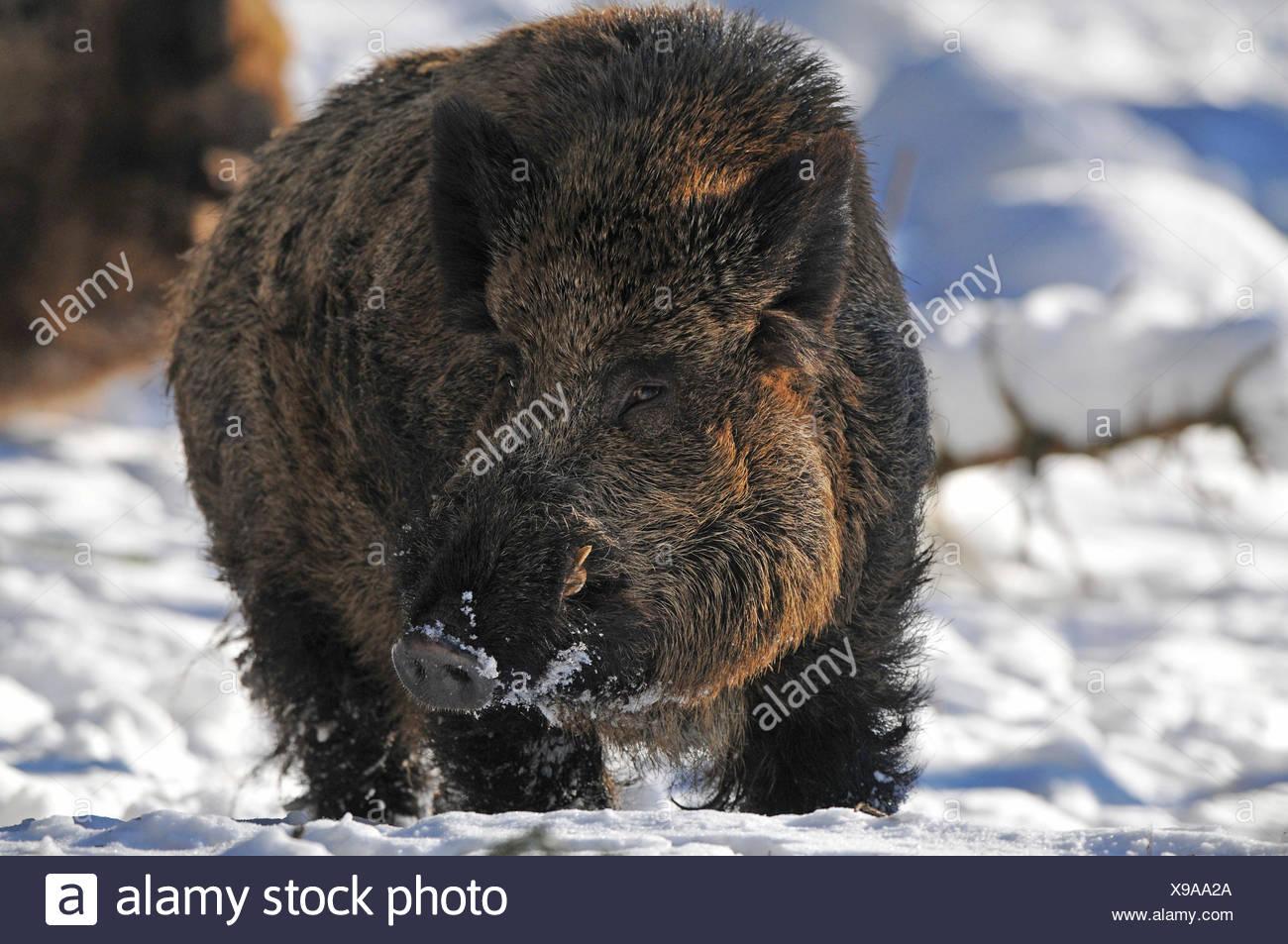 Wild Boar (Sus scrofa), tusker in winter coat, captive, Saxony, Germany - Stock Image