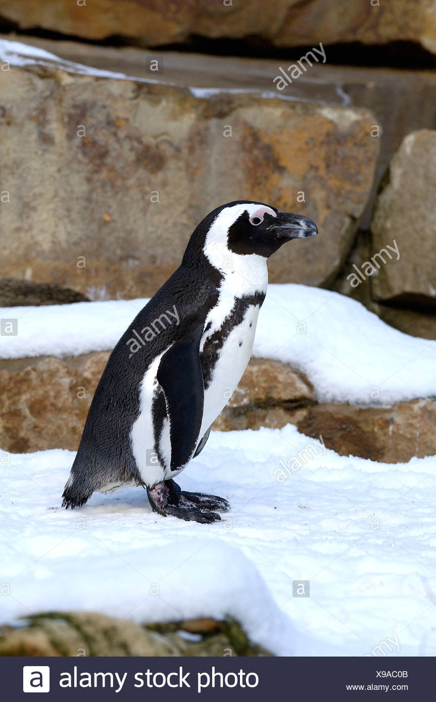 Penguin Spheniscus demersus Stock Photo