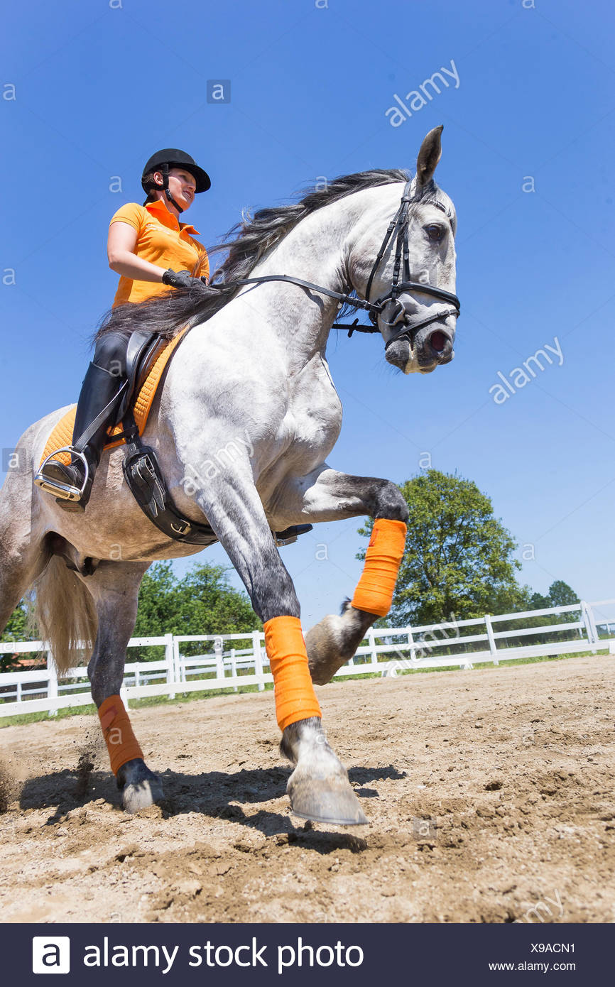 Pure Spanish Horse, Andalusian. Rider on juvenile gray stallion galloping on a riding place. Austria - Stock Image
