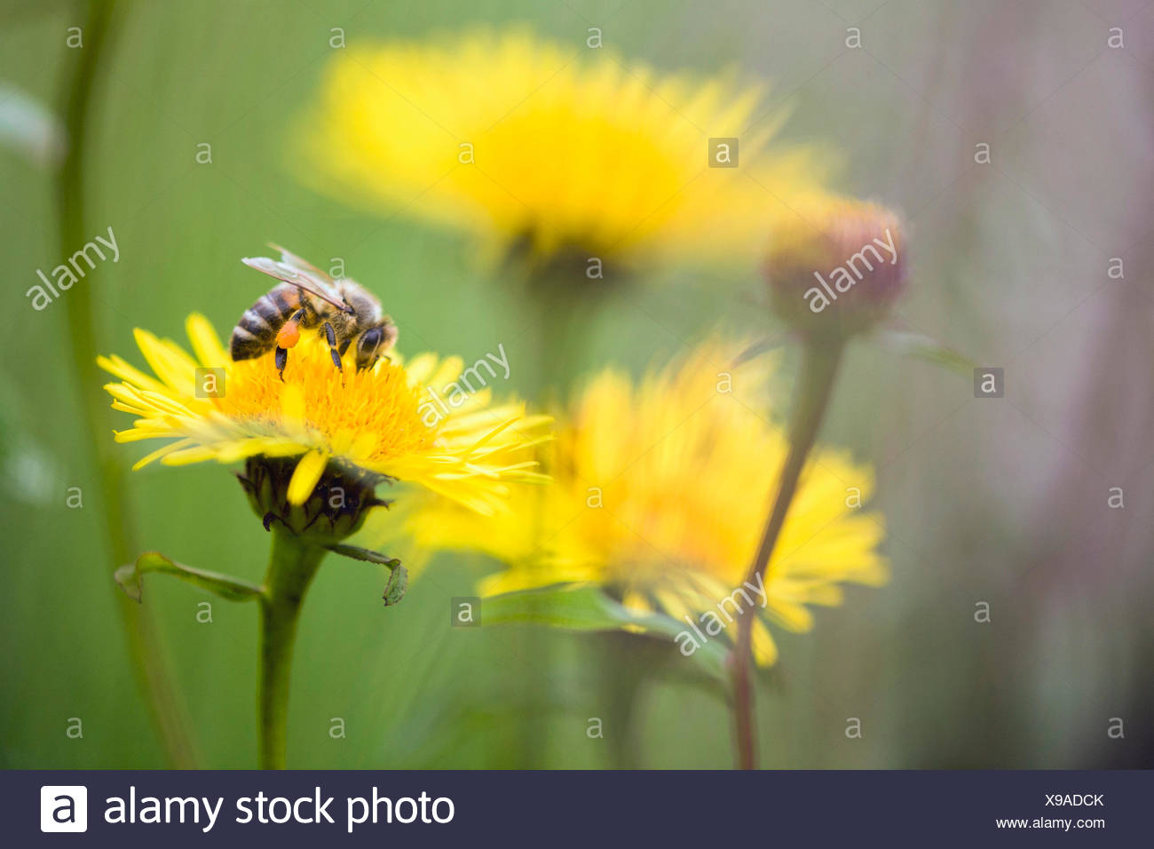 honey bee, hive bee (Apis mellifera mellifera), collects pollen, Germany, Hesse - Stock Image