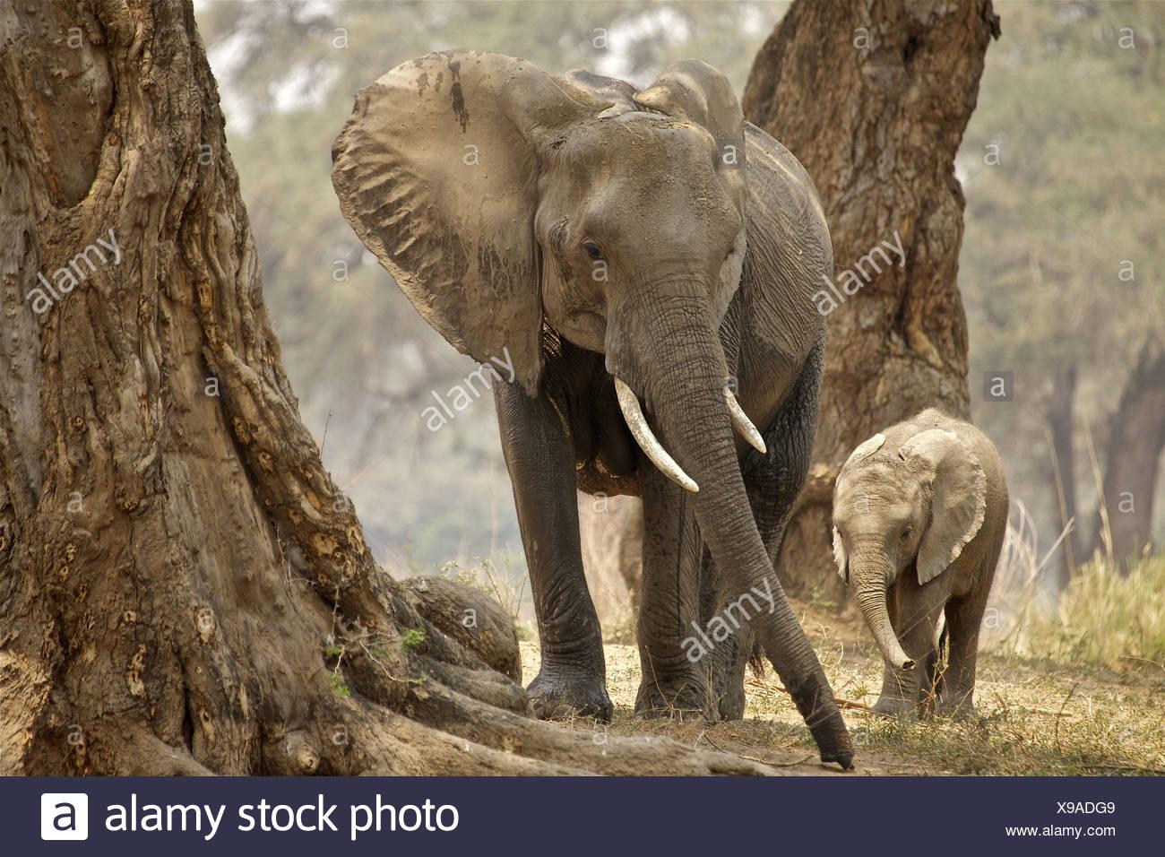 African Bush Elephant (Loxodonta Africana) mother and baby in wood, Mana Pools National Park, Zimbabwe Stock Photo