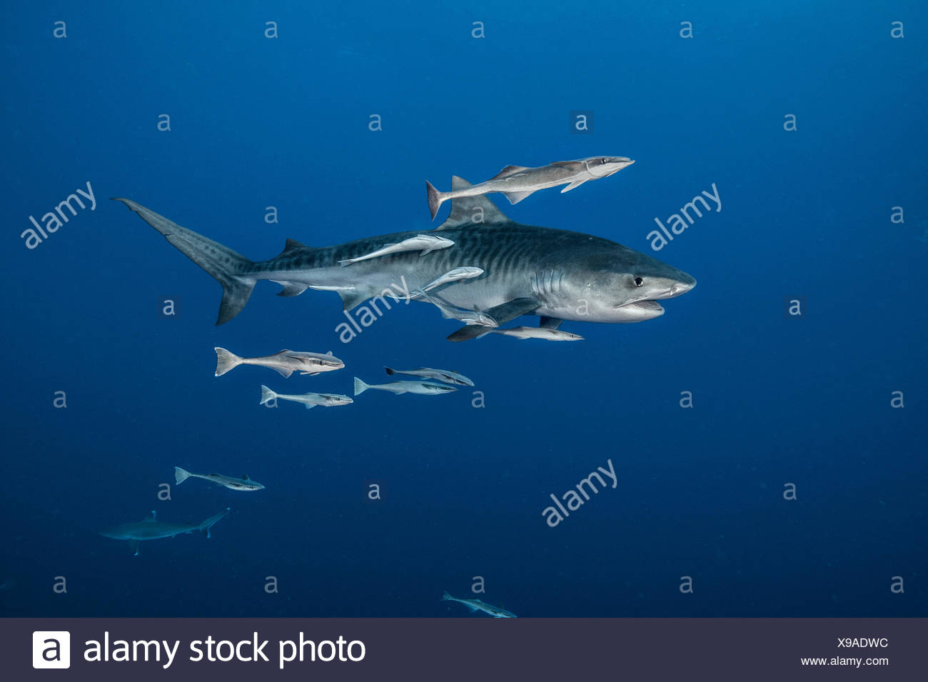 Above a reef deep in the Indian Ocean, a tiger shark is trailed by remoras. - Stock Image