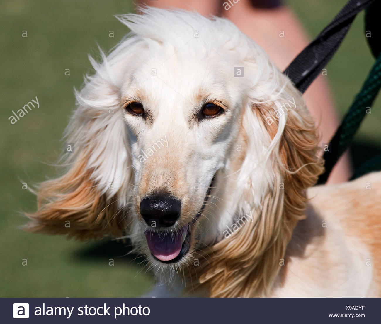 closeup pet dog afghan hound canine aristocrat head closeup animal pet mammal - Stock Image