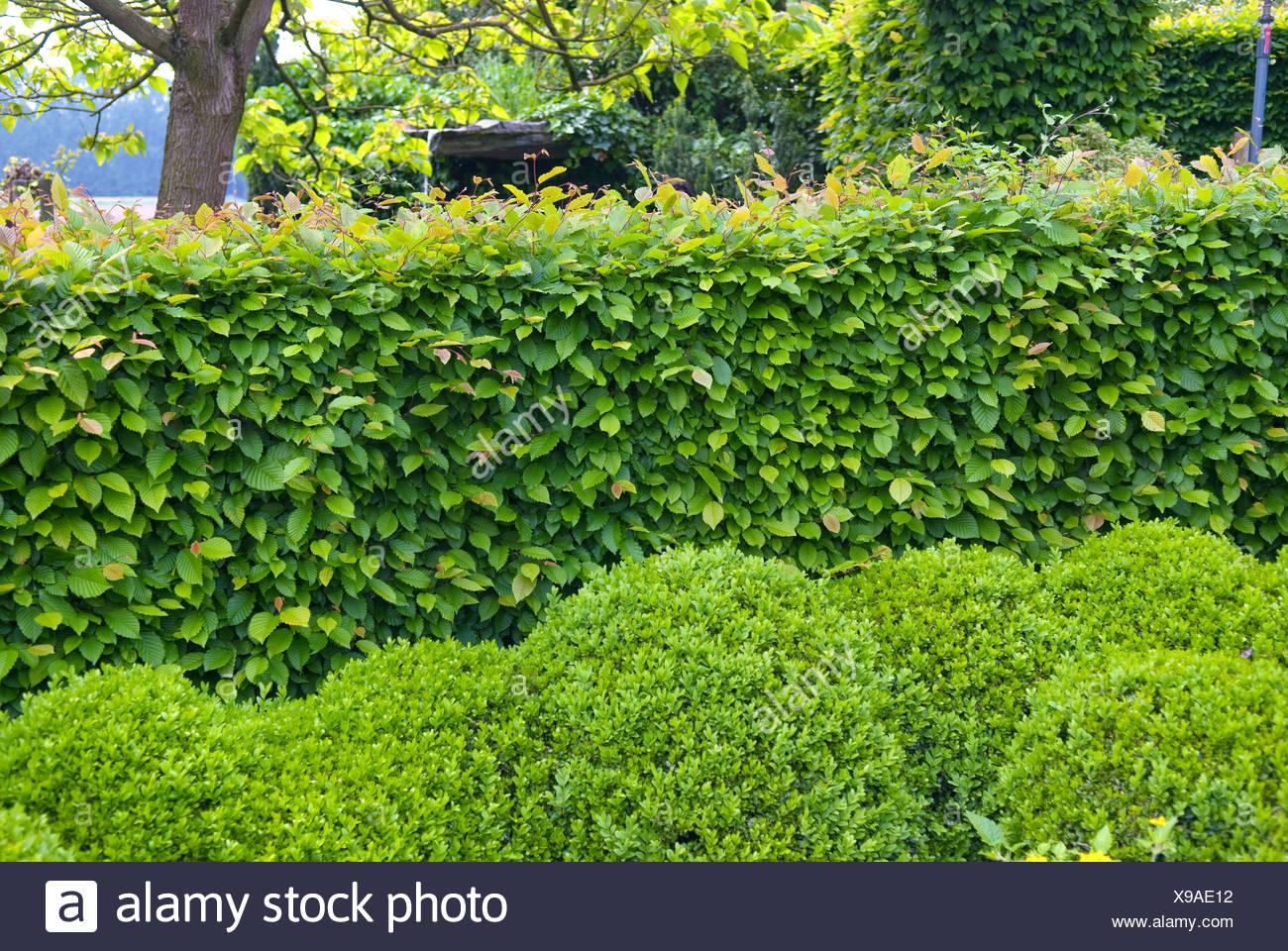 common hornbeam, European hornbeam (Carpinus betulus), hornbeam hedge with boxwoods , Netherlands - Stock Image