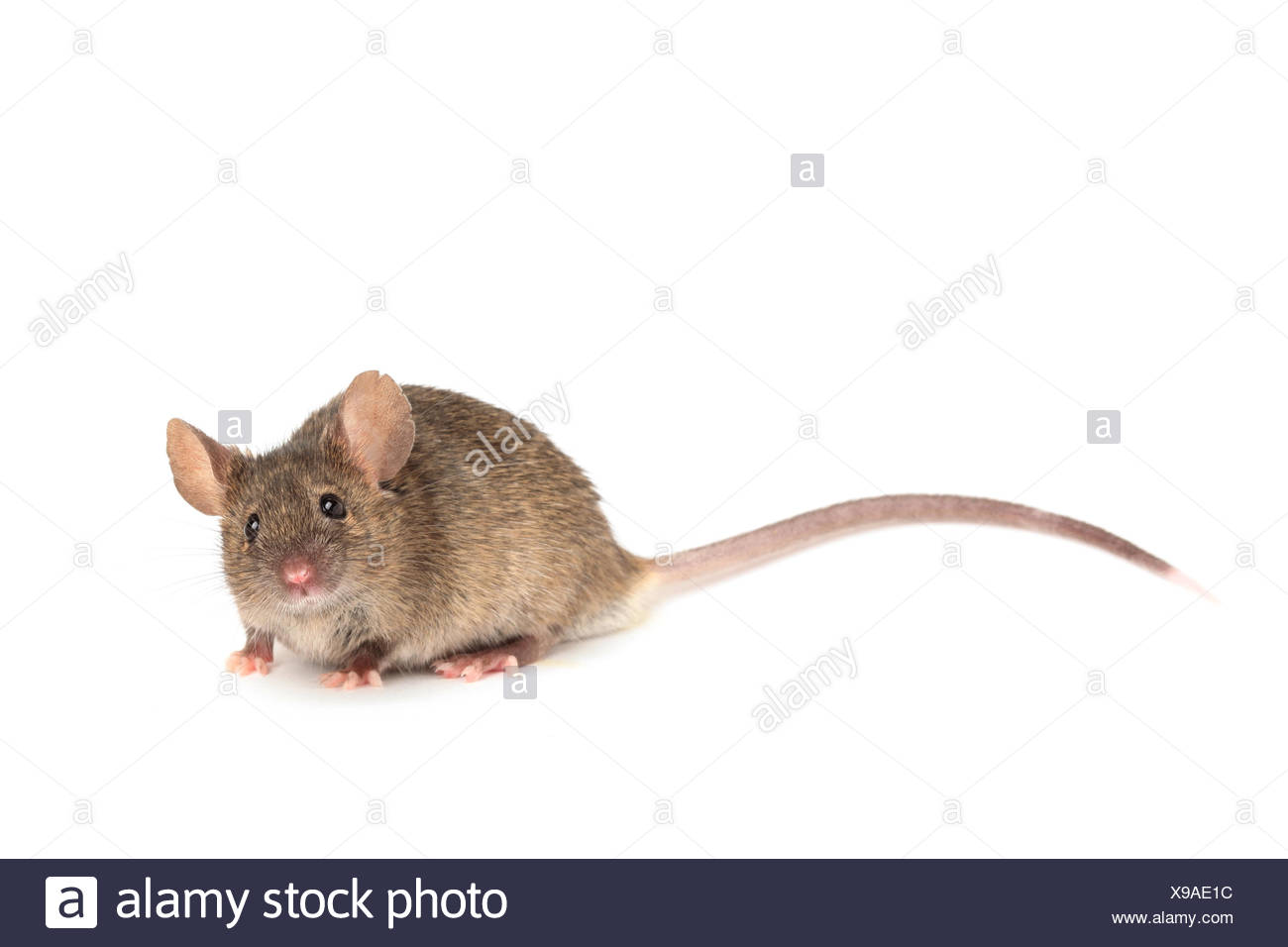 animal, pet, rodent, mouse, maddening, pert, coquettish, cute, isolated, - Stock Image