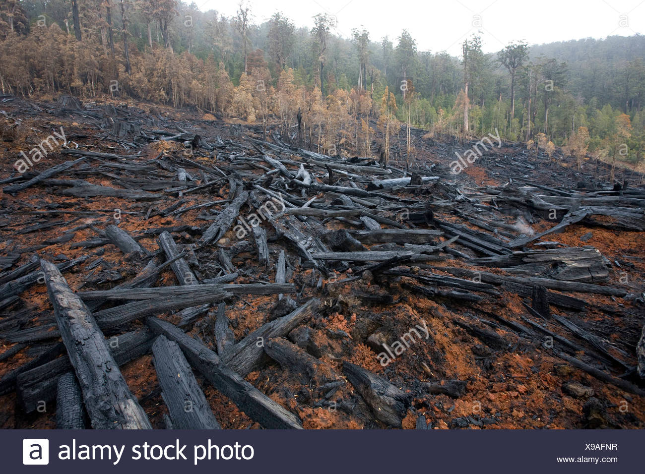 Clearfelled old-growth forest Stock Photo