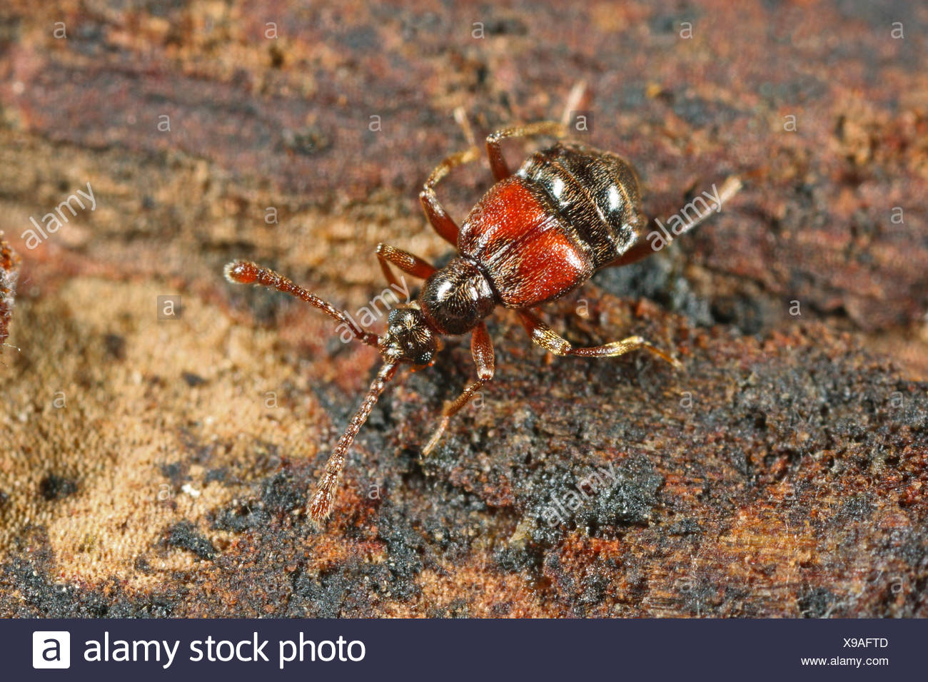 Short winged mold beetle (Tyrus mucronatus), on deadwood, Germany - Stock Image