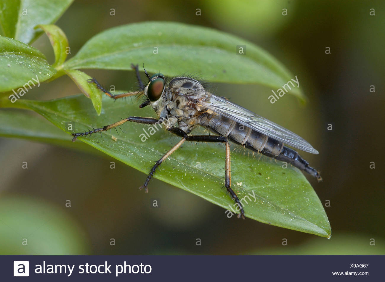 Common Awl Robberfly - Stock Image