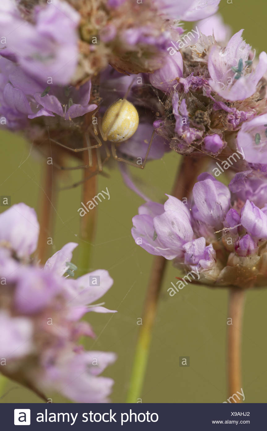 tangle-web spider (Theridiidae), Germany - Stock Image