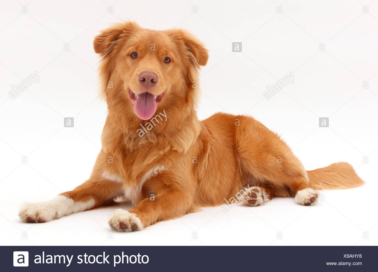 Nova Scotia Duck Tolling Retriever dog, age 6 months. - Stock Image