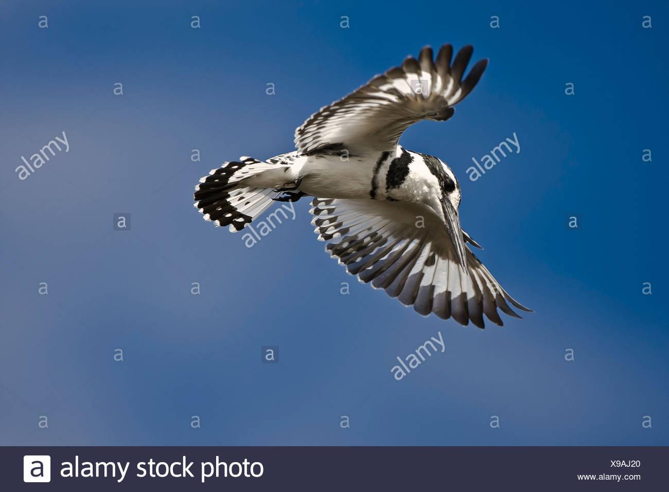 Pied Kingfisher, Masai Mara, Kenya Stock Photo