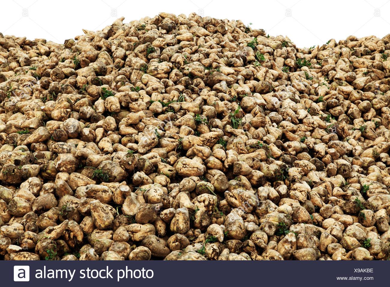 Sugar Beet, harvested, Norfolk, England UK sugarbeet crop agriculture - Stock Image