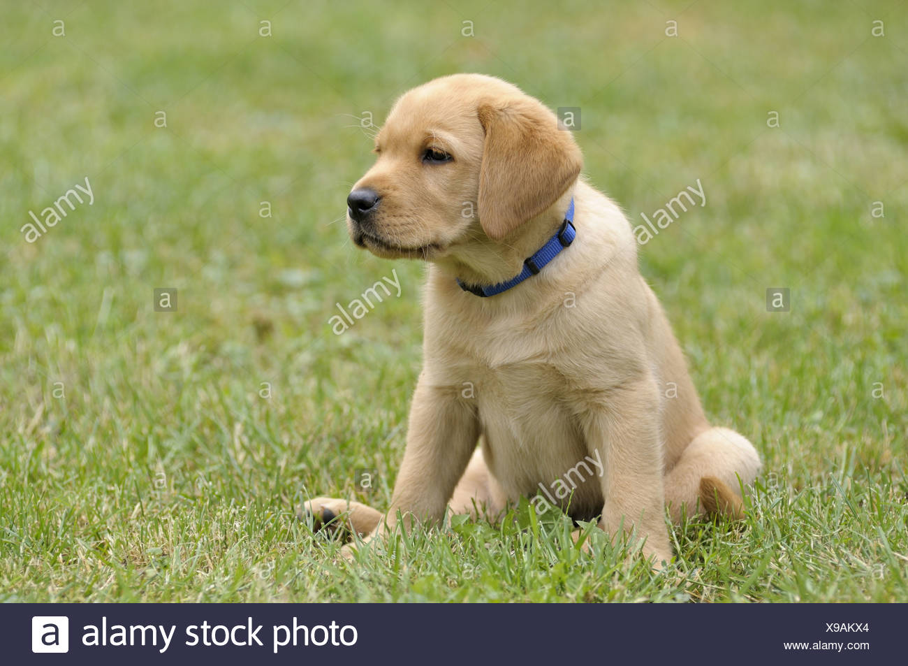 Blonde Labrador Retriever Puppies High Resolution Stock Photography And Images Alamy
