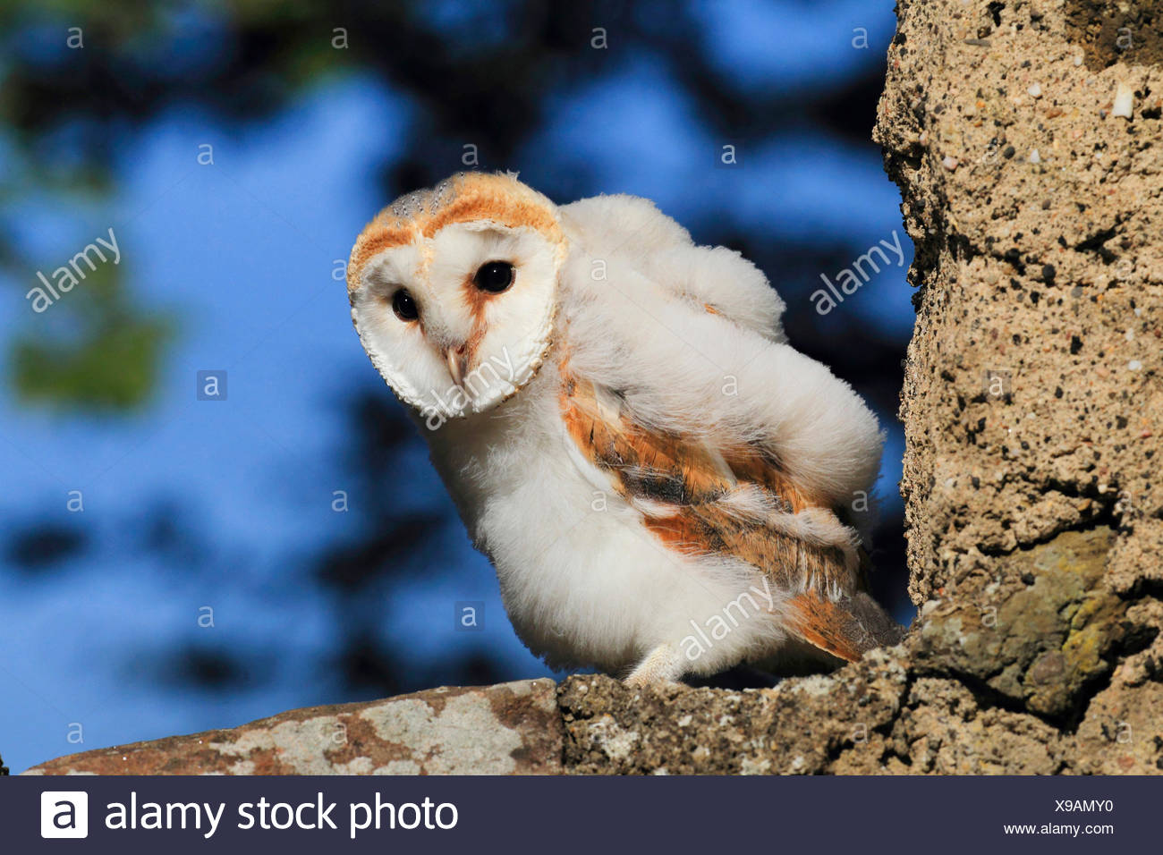 Barn owl (Tyto alba), juvenile, Germany Stock Photo
