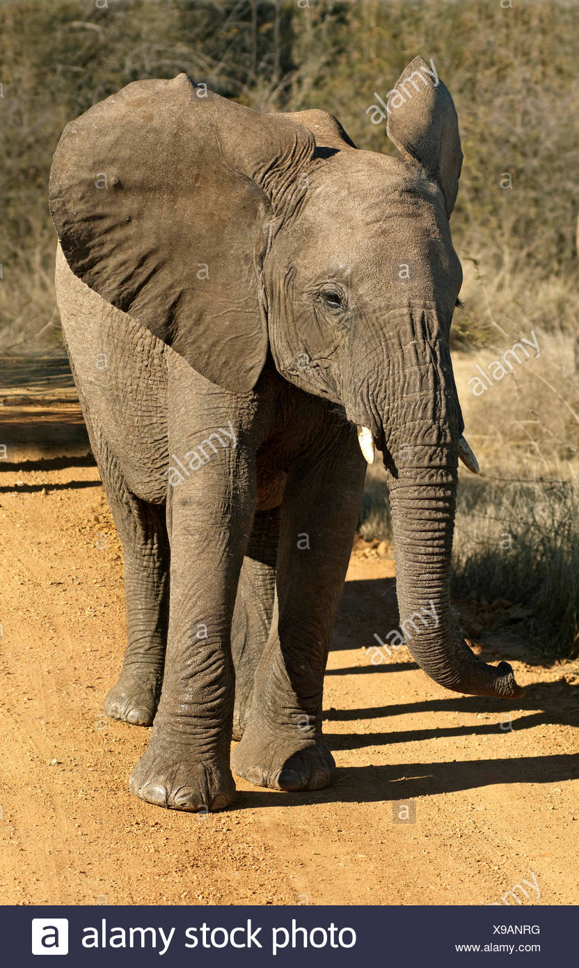 Bad-tempered adolescent African Elephant (Loxodonta africana) with flapping ears, Madikwe Game Reserve, South Africa Stock Photo