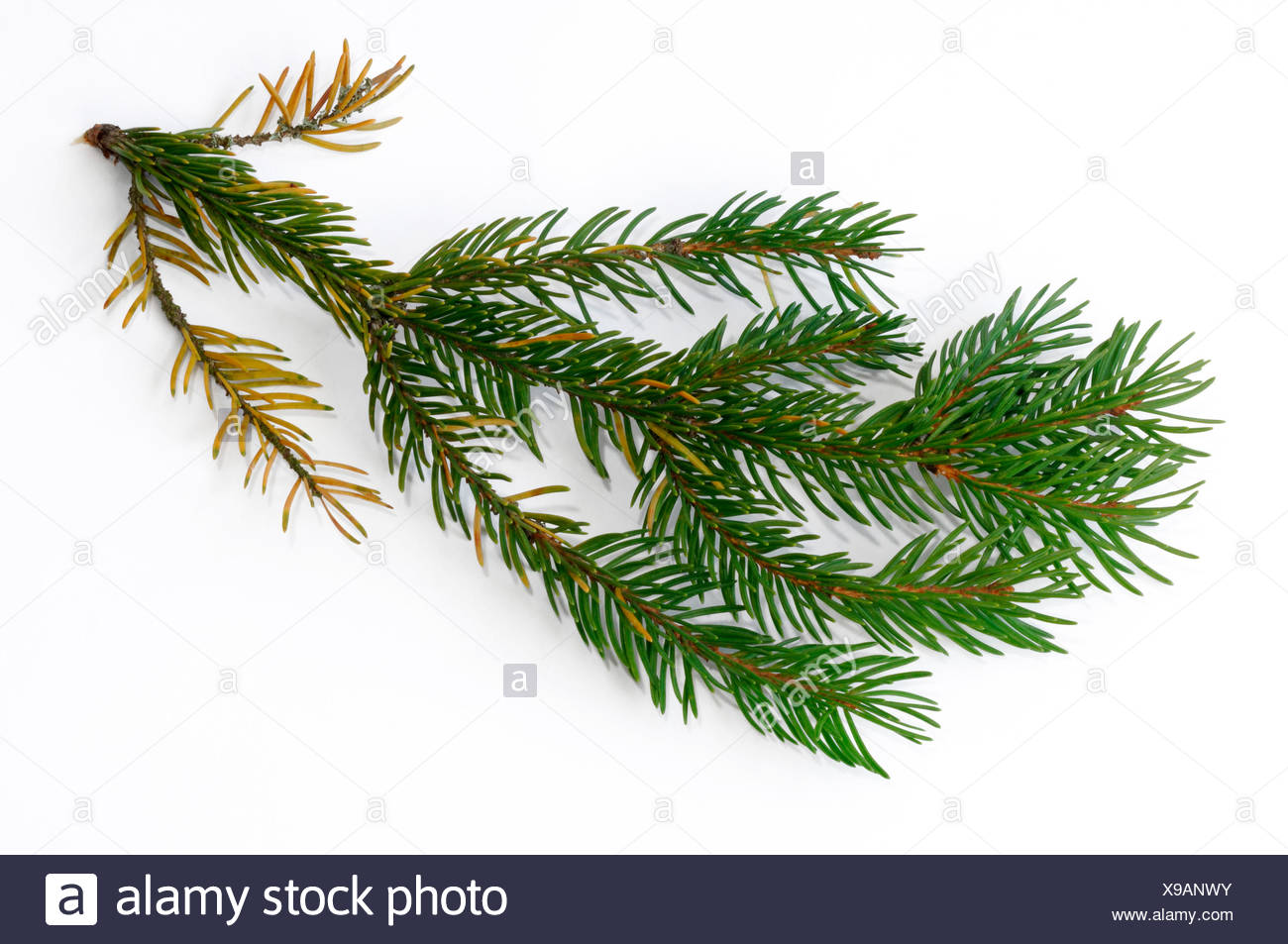 Norway Spruce, Common Spruce (Picea abies), damaged twig with fallen off needles and discoloration of needles. Studio picture against a white background. Germany - Stock Image