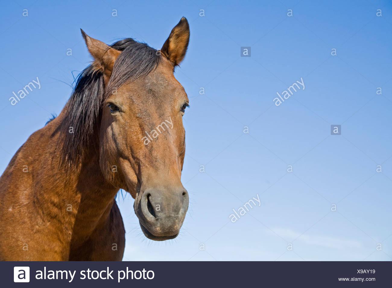 Africa, Namibia, Wild horse, portrait, close-up - Stock Image