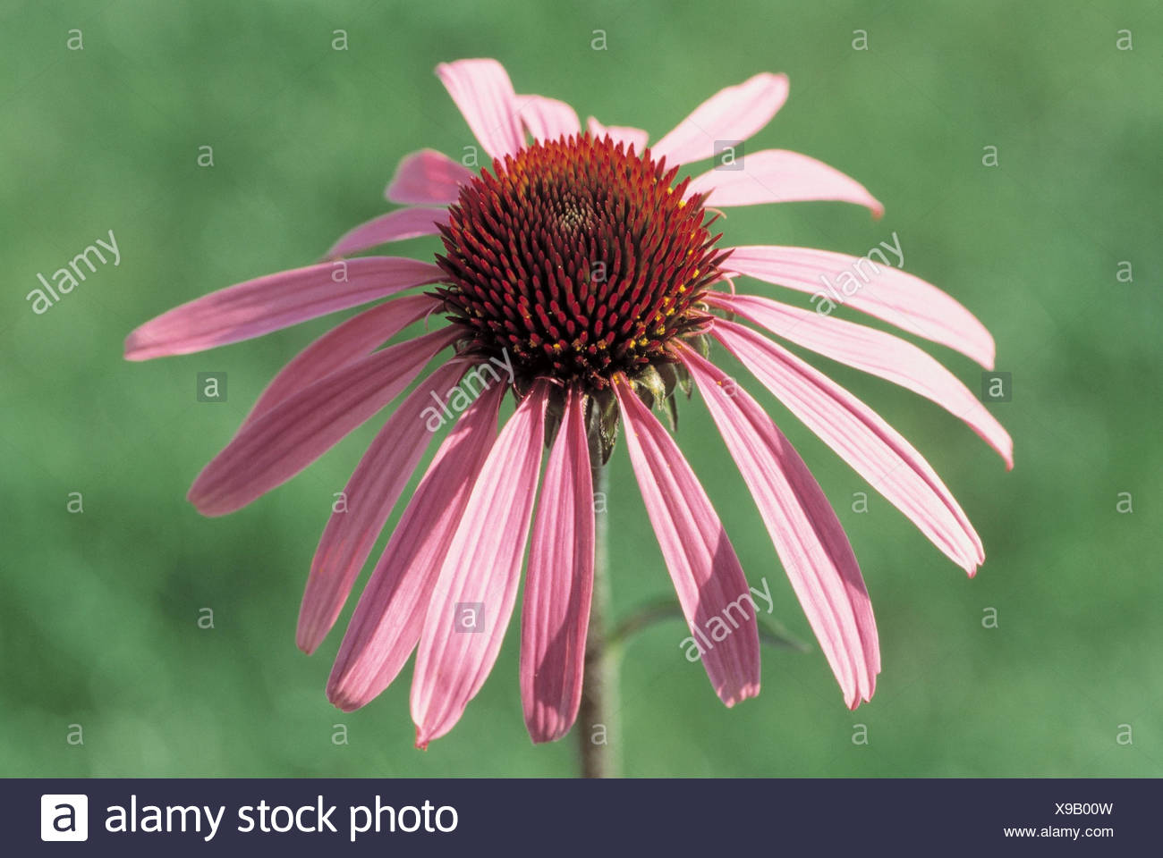 Medicinal plants, red solar hat, Echinacea purpurea, detail, blossom plants, medicinal plants, herbs, medicament plants, nature drugs, herbs, composites, Asteraceae, Brauneria purpurea, Echinacea intermedia, Echinacea speciosa, Rudbeckia hispida, Rudebeck - Stock Image
