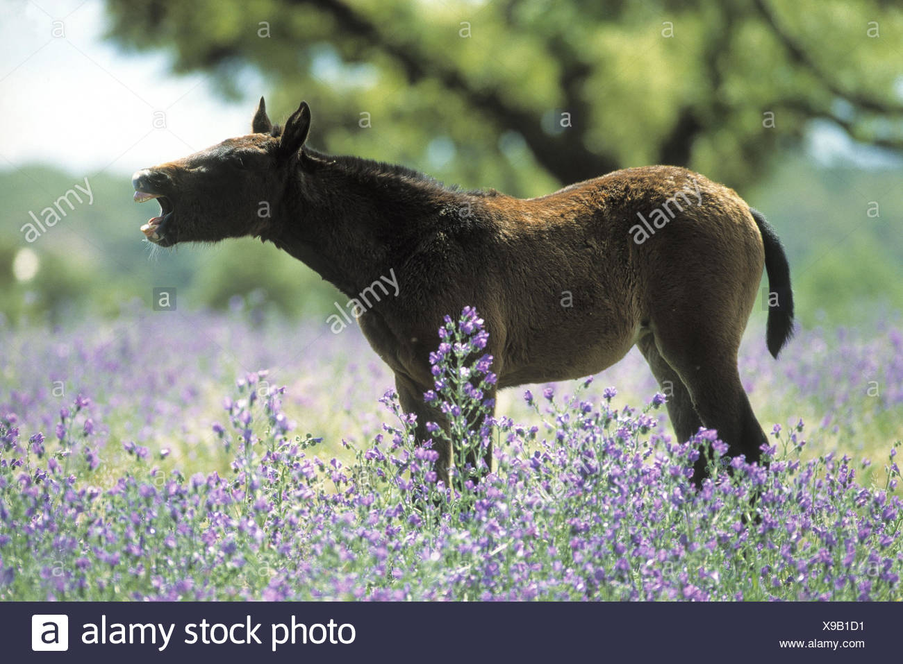 Horse, Lusitaner foal, neigh, side view, flower meadow, animals, mammal, mammals, young animal, foal, horses, young, horse's race, thoroughbred horse, Lusitano, benefit animal, meadow, flowers, preview - Stock Image