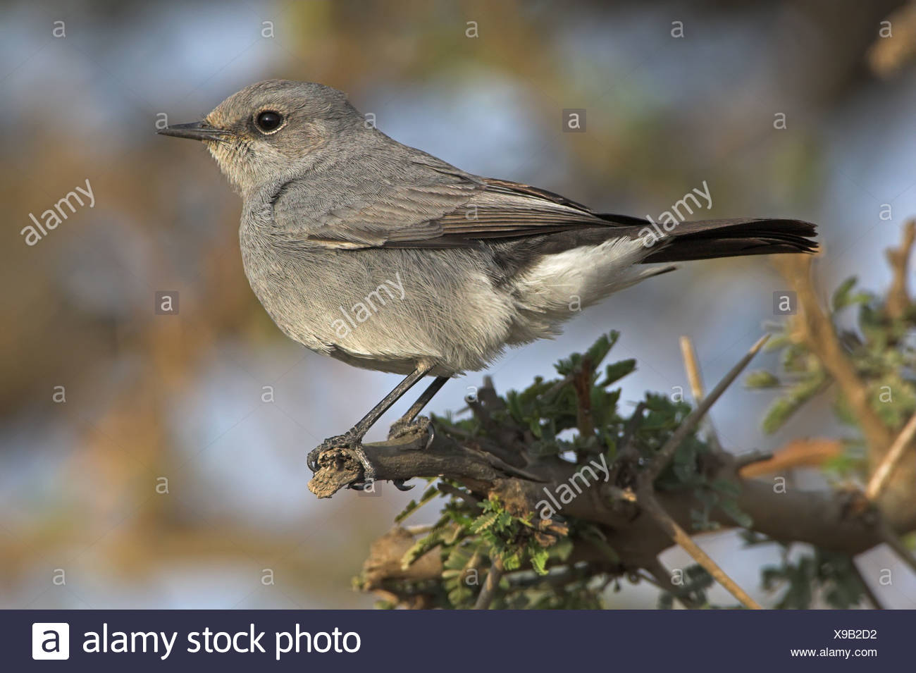 Blackstart (Cercomela melanura) sitting on a twig, close-up - Stock Image