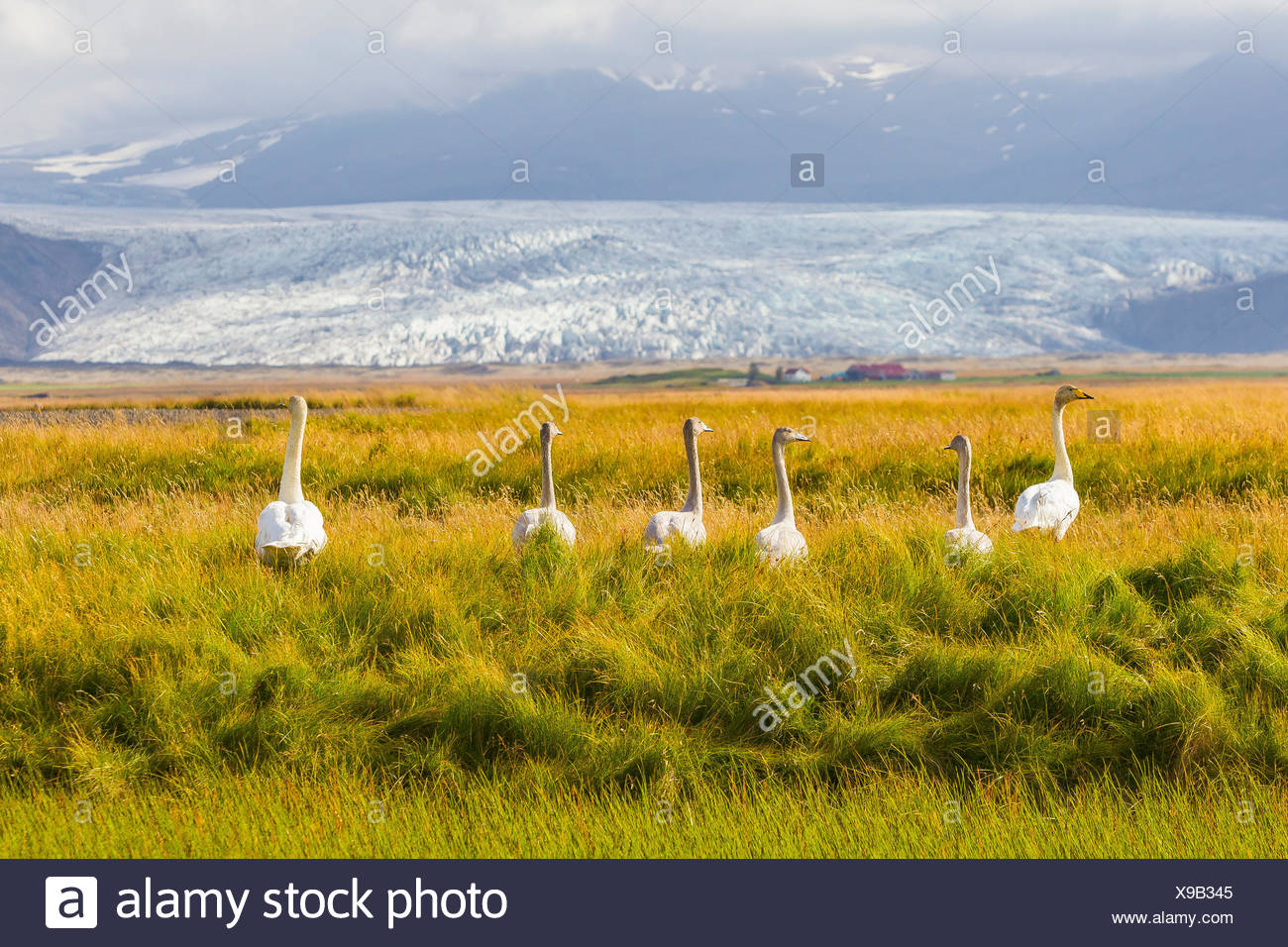 A family of whooper swans in tall grass near a large glacier on the south coast of Iceland. - Stock Image