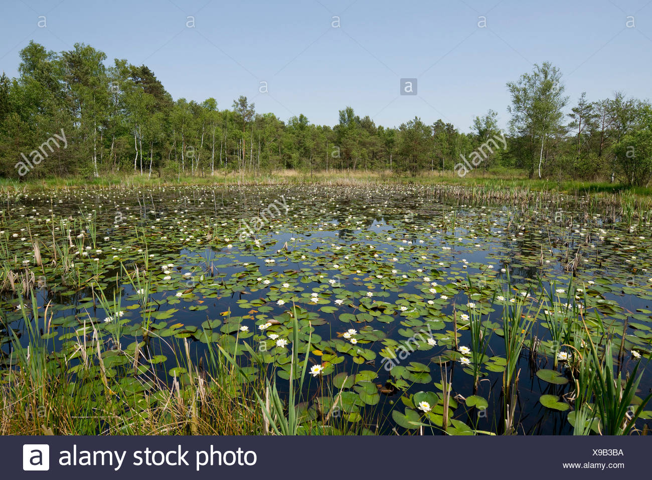 Pond with White Water Lilies (Nymphaea alba), Breites Moor, near Celle, Lower Saxony, Germany - Stock Image