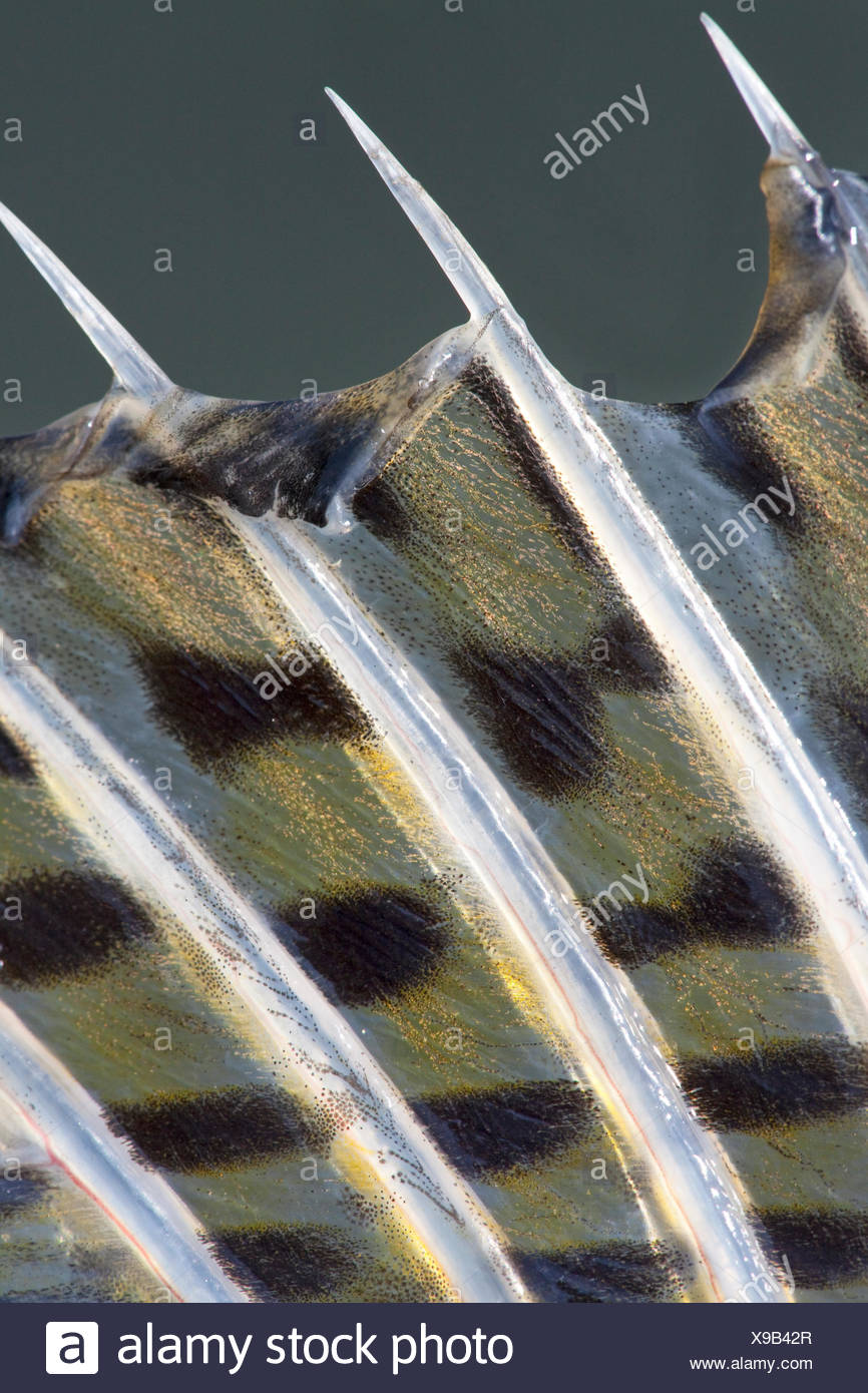 detail of the dorsal fin of a pike perch - Stock Image