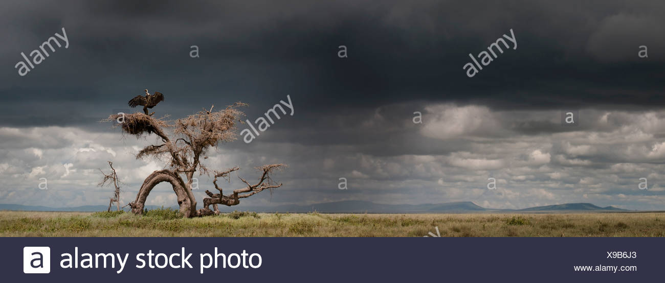 Ruppell's Griffon Vulture drying its wings after a rain storm perched on a knarled tree. Ngorongoro, Serengeti, Tanzania. Stock Photo