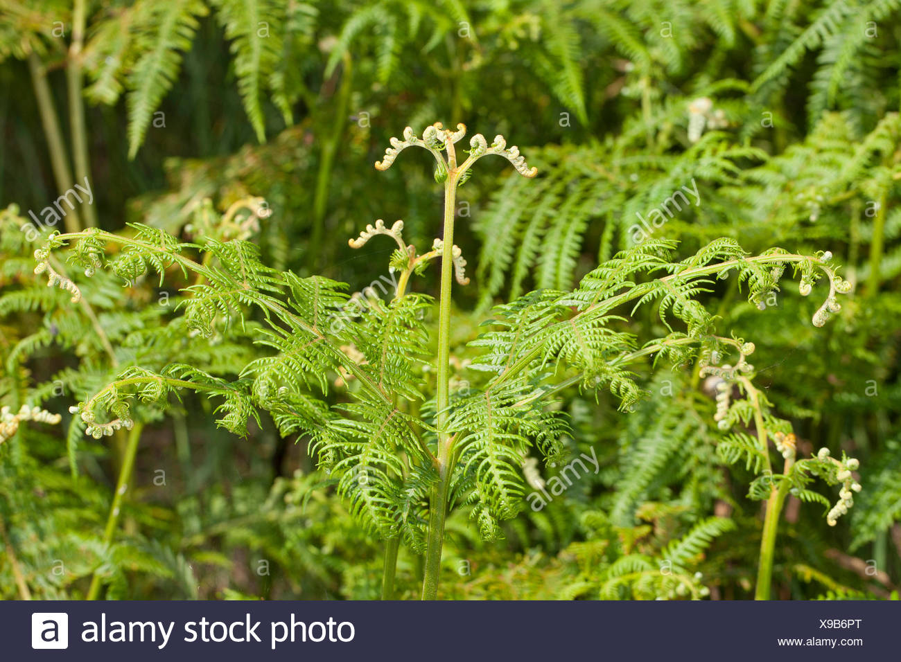 bracken fern (Pteridium aquilinum), developing leaf, Germany - Stock Image