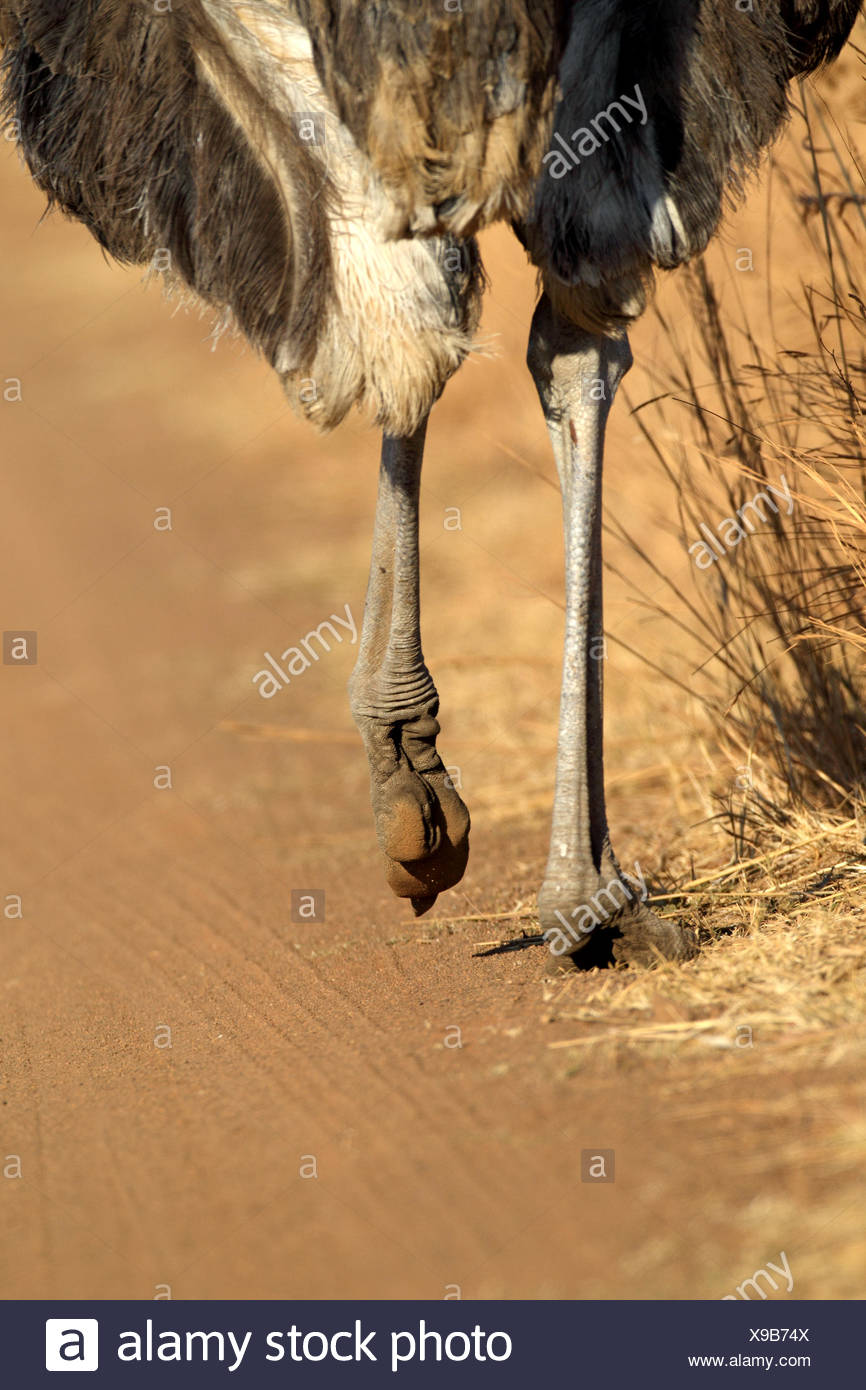 ostrich (Struthio camelus), sturdy legs and feet of a running ostrich, South Africa, Pilanesberg National Park - Stock Image