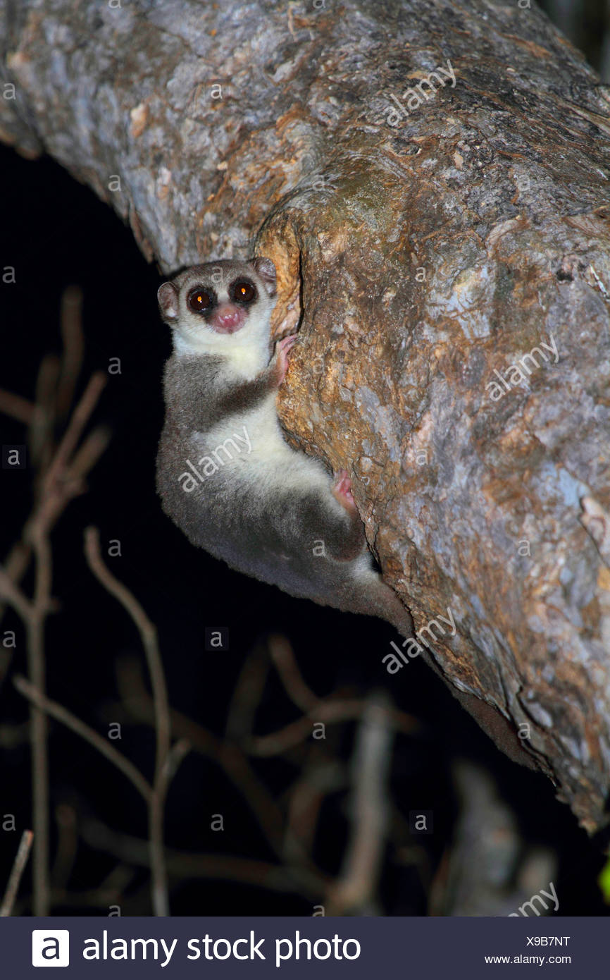 lesser dwarf lemur, fat-tailed dwarf lemur (Cheirogaleus medius), clinging to tree trunk with a hole, Madagascar, Toliara, Kirindy Forest - Stock Image