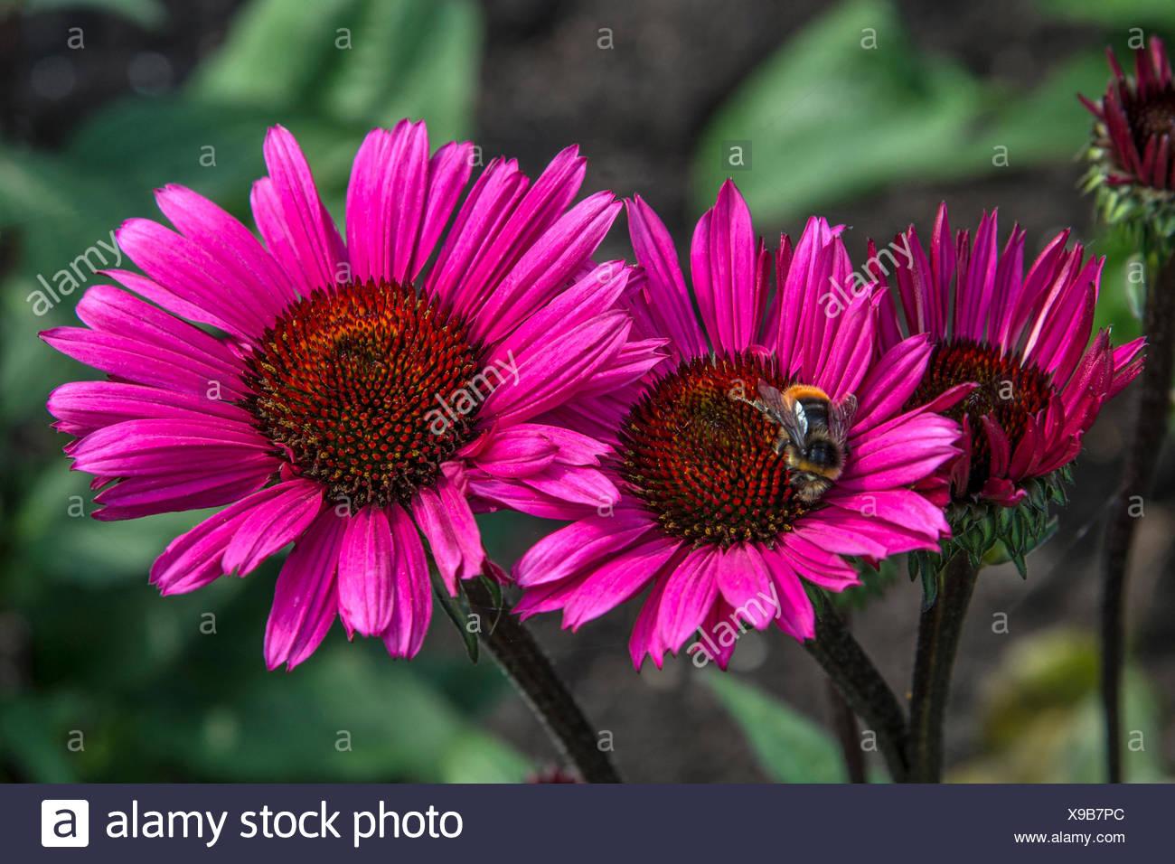 echinacea purpurea fatal attraction stock photos. Black Bedroom Furniture Sets. Home Design Ideas