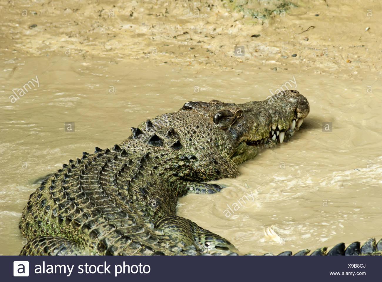Estuarine Crocodile in agitated mud water - Stock Image
