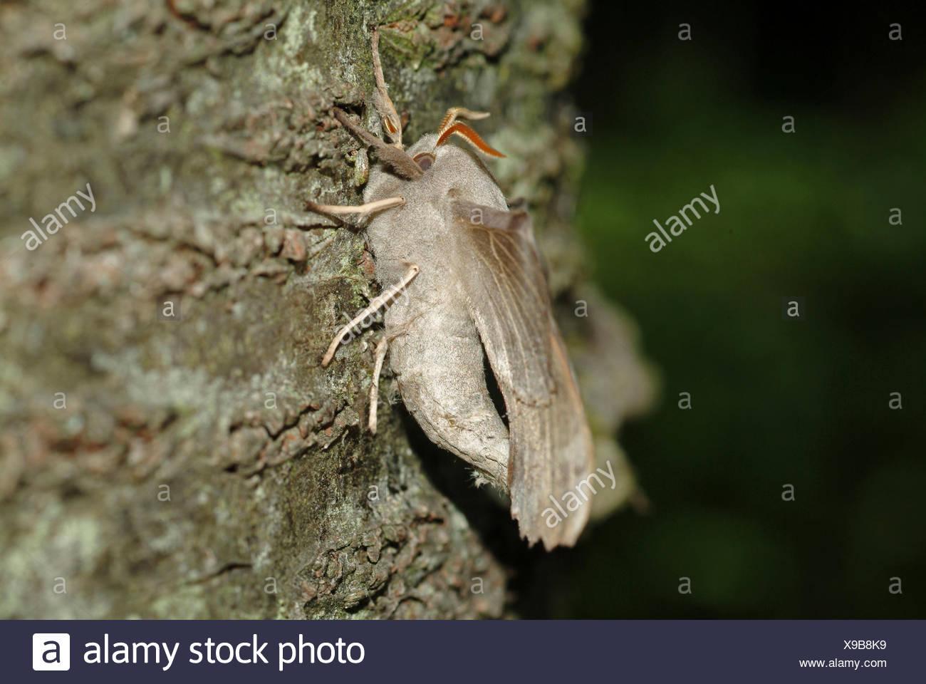 Poplar Hawkmoth (Laothoe populi), sitting on bark, Germany - Stock Image