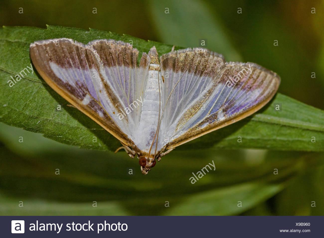Box tree Moth Cydalima perspectalis - Stock Image