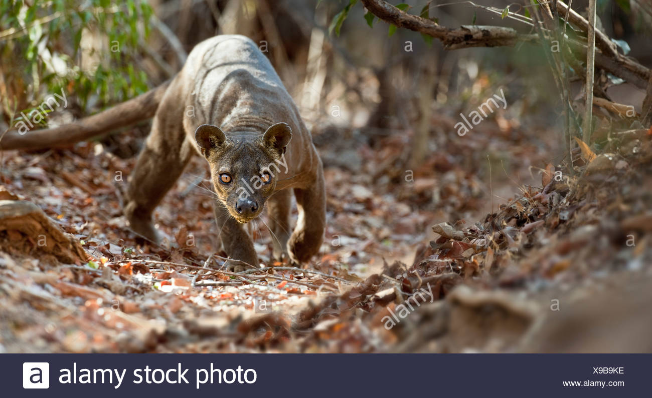 Fossa in deciduous forest, Kirindy, Madagascar - Stock Image