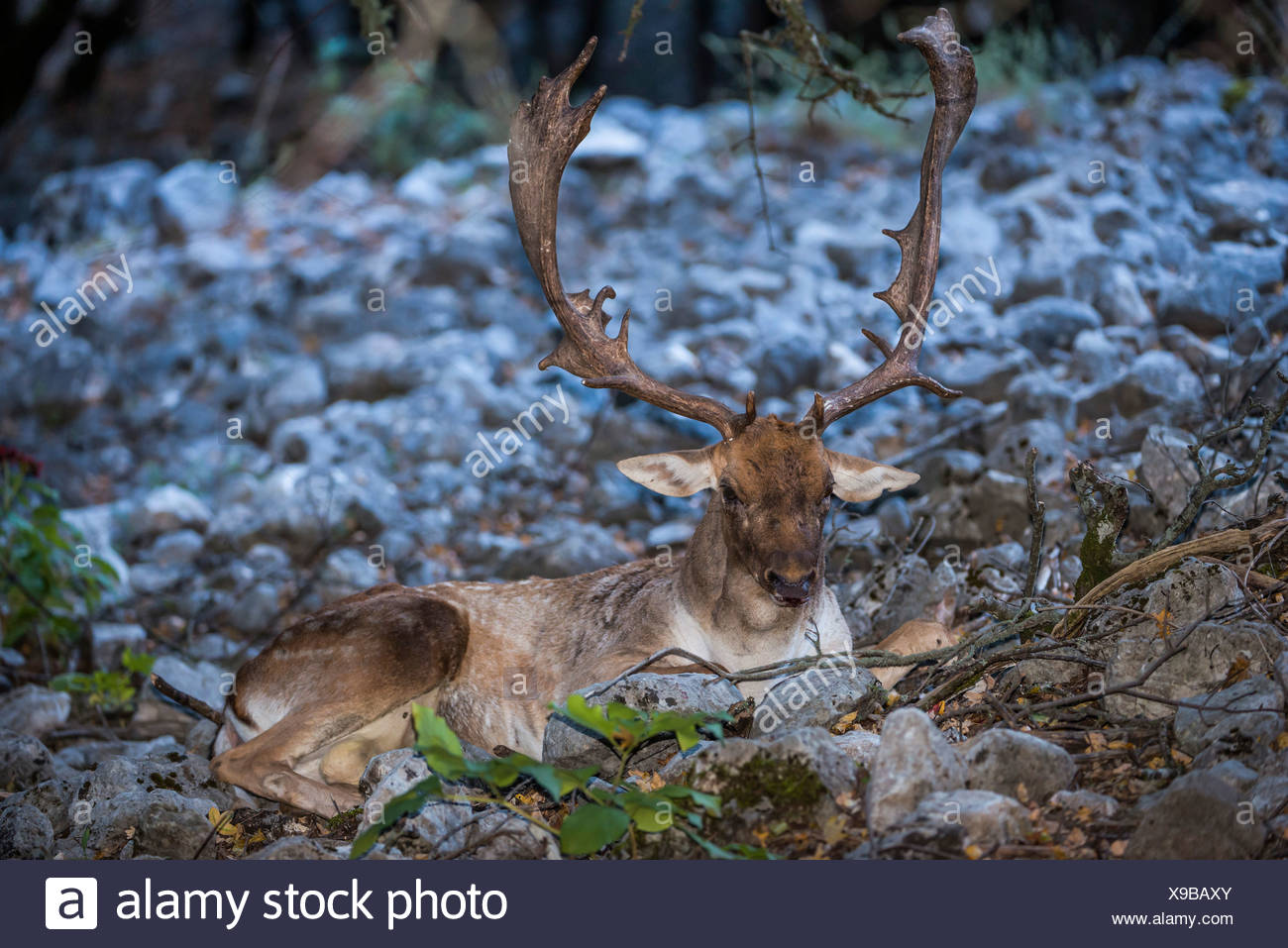 Fallow deer (Dama dama), resting, Parco delle Madonie nature reserve, Sicily, Italy - Stock Image