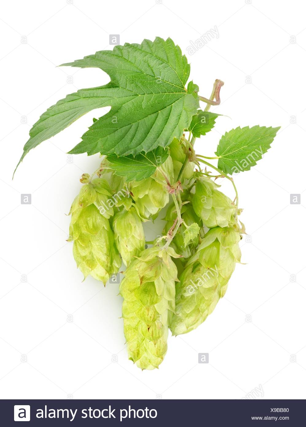Branch of hops isolated on a white background. - Stock Image